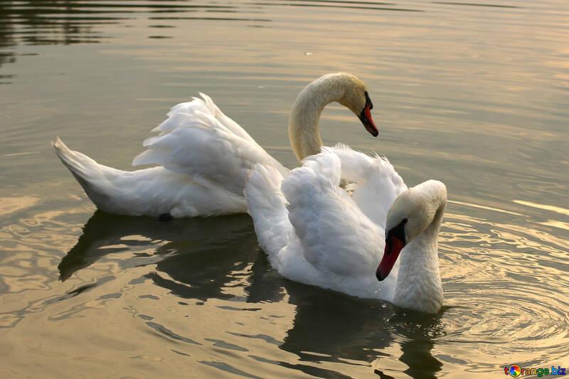Белый лебедь №34041