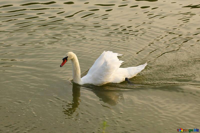 Белый лебедь №34158