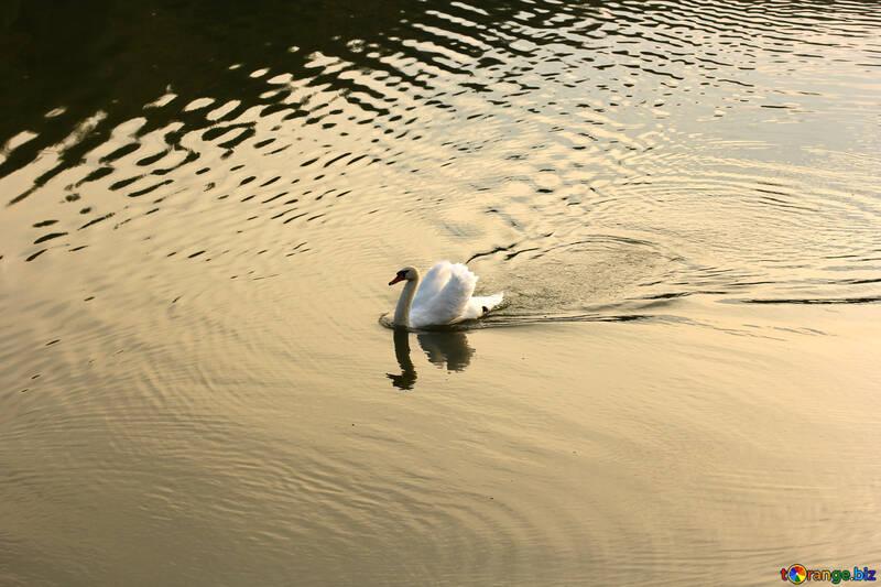 Белый лебедь №34163