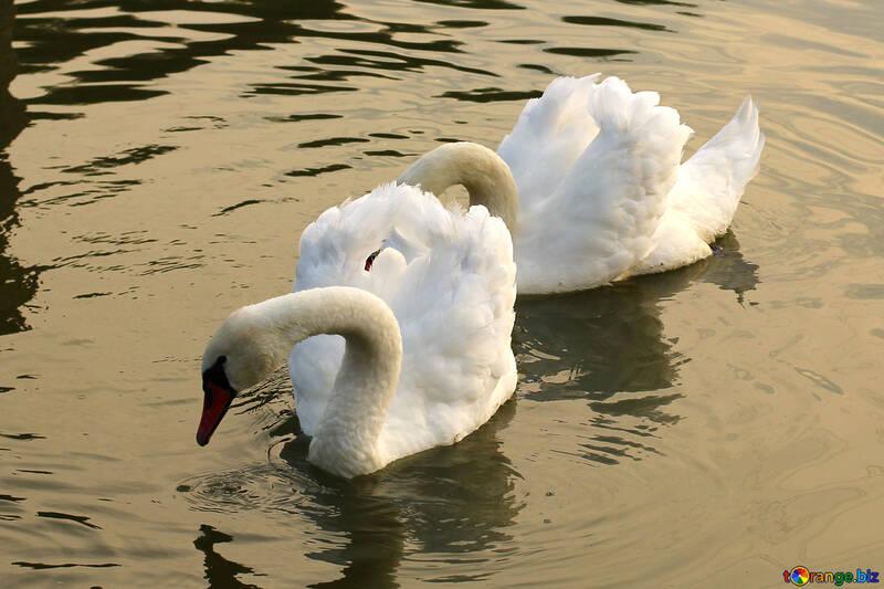 Cisne blanco cerca de №34046
