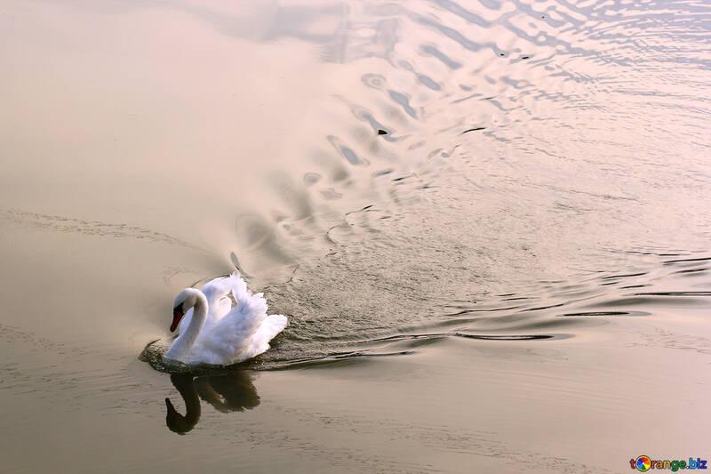 Белый лебедь плывет №34170