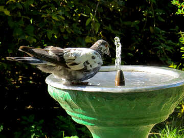 A dove drinking water in fountain №35997