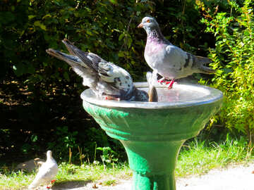 Pigeons drink water from fountain №35998