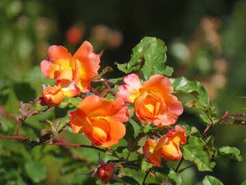 Blume-rose №35965