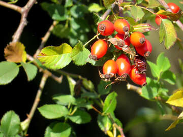 Health benefits of rose hips №35966