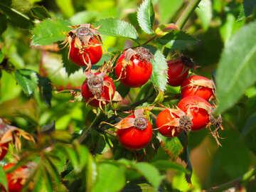Hagebutten-Früchte №35970