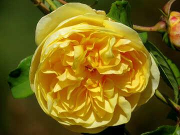 Gelbe Blume-rose №35973