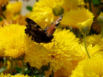 Butterfly drinking nectar №35833