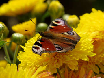 Red Butterfly №35837