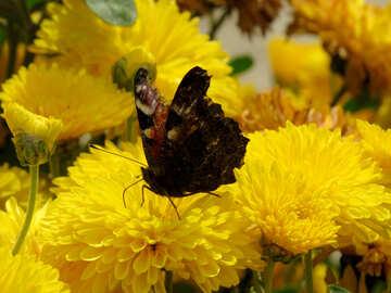 Butterfly walks in flower