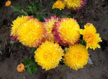 Yellow chrysanthemum №35912