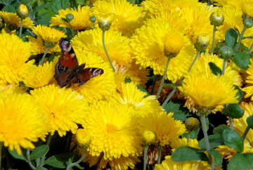 Yellow chrysanthemum with butterfly №35926