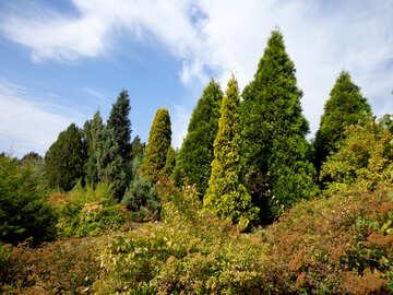Coniferous trees №35901