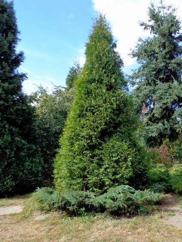 Cypress №35902