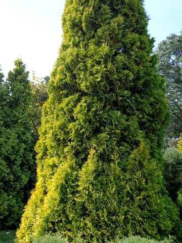 Tall cypress №35905