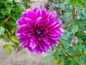 Beautiful dahlia №35931
