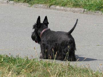 Scottish Terrier №35797