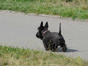 Scottish Terrier №35798