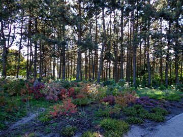Flowers in the shade of pine trees №35868