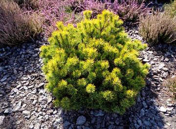 Round Pine Bush №35866