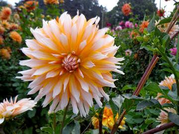 Big beautiful flower №35939
