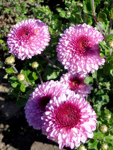 Flowers of Chrysanthemum №35870