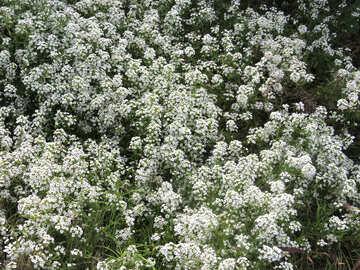 Viele weiße Blüten №35801