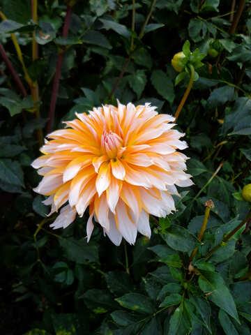 Große Gartenblume №35934