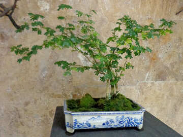 Japanese tree №35756