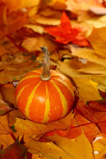 Kürbis auf Hintergrund von Herbstlaub №35278