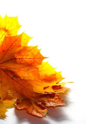 Las hojas de otoño amarillo aislado №35247