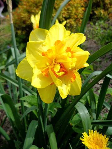 Spring Daffodil №35743