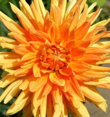 Eine große orange Blume №35831