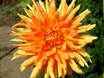 Orangefarbene Blume №35830