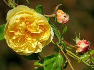 rose №35972