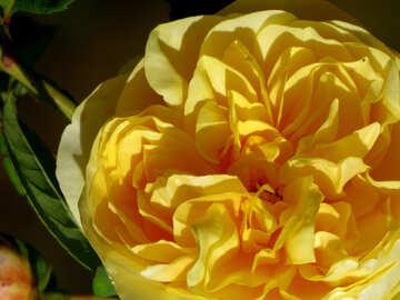 Wild rose №35974