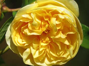 Yellow rose №35975