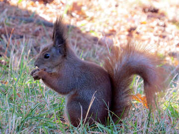 Animal Squirrel  №35693