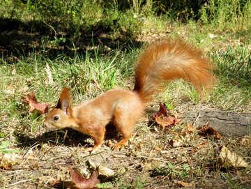 Eichhörnchen auf der Erde №35715