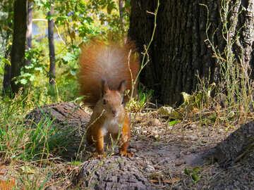 Eichhörnchen №35713