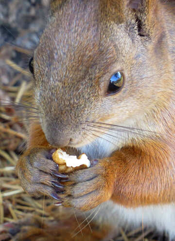 Squirrel eating nut №35680