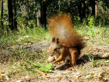 Squirrel found Walnut №35712