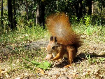 Squirrel found Walnut №35712