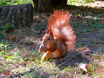 Squirrel Nut nibbles №35722