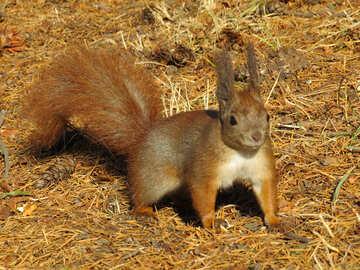 Eichhörnchen №35733
