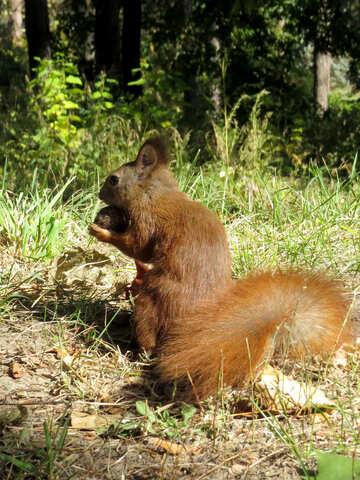 Tier Eichhörnchen №35709