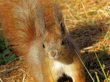 Auge Eichhörnchen №35730