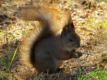 Furry animal Squirrel №35672