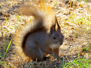 Eichhörnchen pelzigen Kreatur №35671
