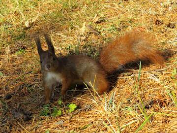Eichhörnchen im Gras №35732
